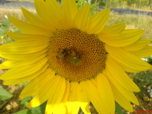 tuscany sunflower image, tuscany photo