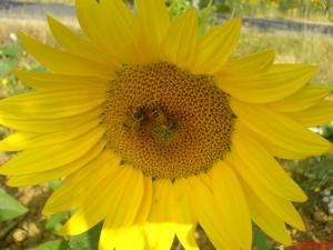 tuscany sunflower image, tuscany photo